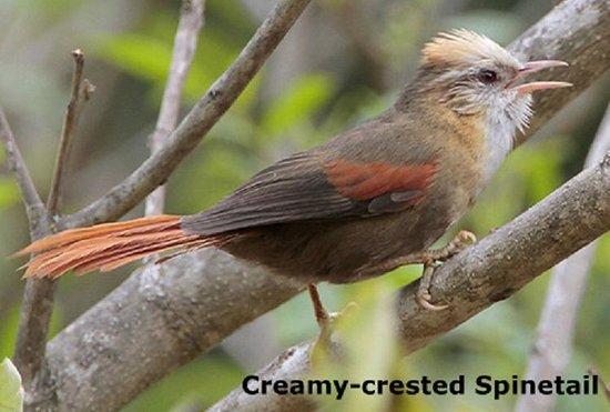 Peru Birding Tours: cusco