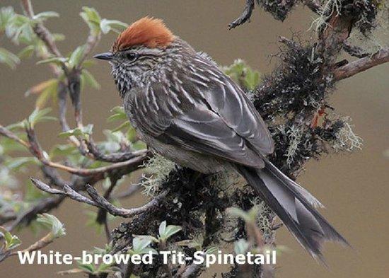 Peru Birding Tours: abra malaga