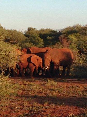Madikwe River Lodge: Elefants