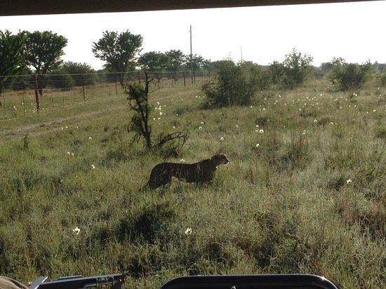 Madikwe River Lodge: Gepard