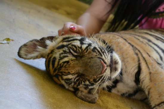 Tiger Kingdom : baby tiger