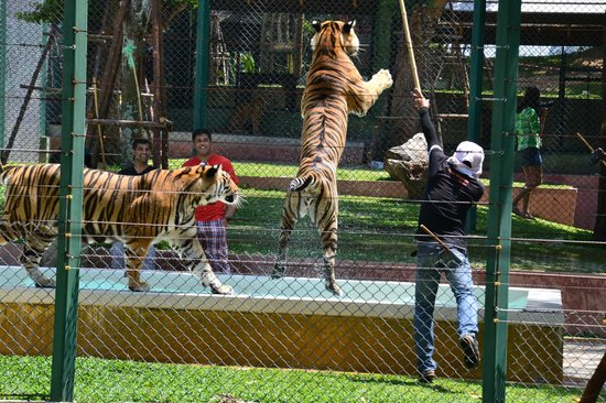 Tiger Kingdom : big tigers from distance