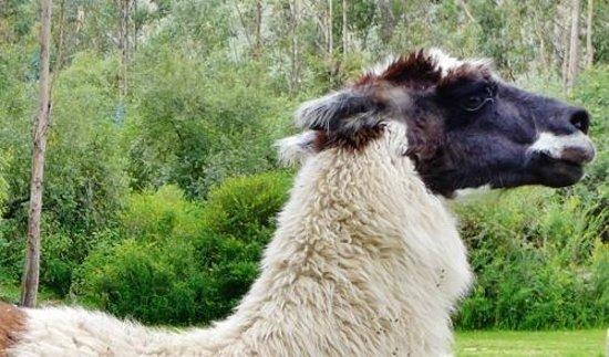 Alhambra Hacienda Restaurant: Llamas in the garden