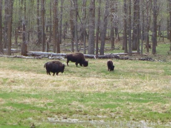 Elk Island National Park: We were lucky we saw bisons.