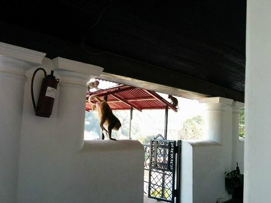 Hotel Himalaya Castle: Monkeys outside our room