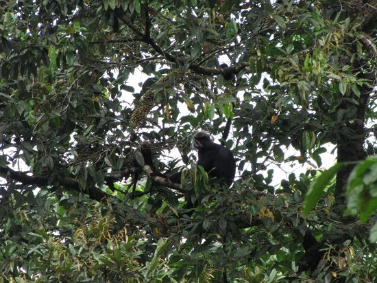 Gavi Forest : Lion Tailed Macaque
