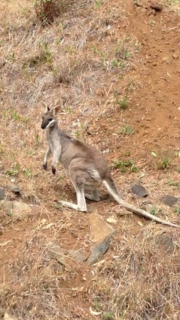 O'Reilly's Rainforest Retreat, Mountain Villas and Lost World Spa: Kangaroos in the mountain