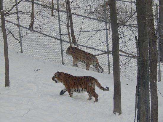 tigers picture of rosamond gifford zoo syracuse tripadvisor