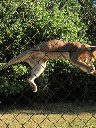 Emdoneni Cheetah project: serval