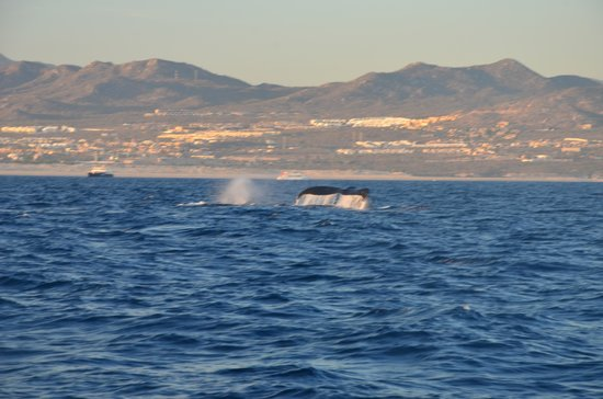 Cabo Sailing Ocean Adventures: Whales!
