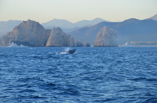 Cabo Sailing Ocean Adventures: Another whale!