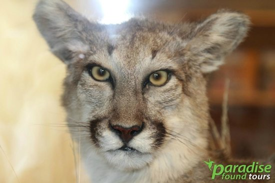 Paradise Found Tours : A mountain lion from one of the Grand Canyon Visitor's Center.