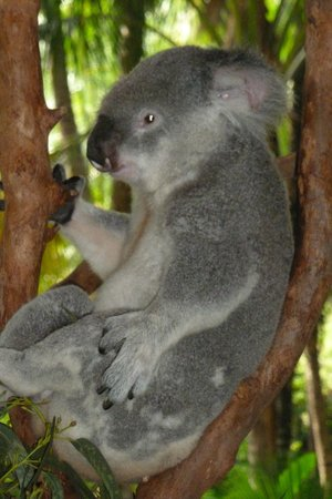 Reef View Hotel: Koalas at the Wildlife cafe