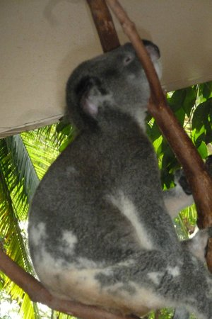 Reef View Hotel: Sleeping Koala