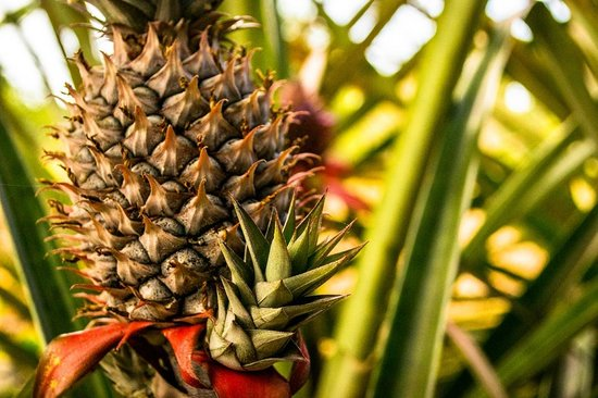 La Pepita de Maranon: There is also a pineapple grove at the side of the cottage