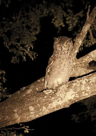 Night safari - Owl - Picture of Kruger National Park, South