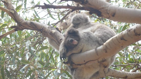 Hanson Bay Wildlife Sanctuary: Mother Koala holding her baby