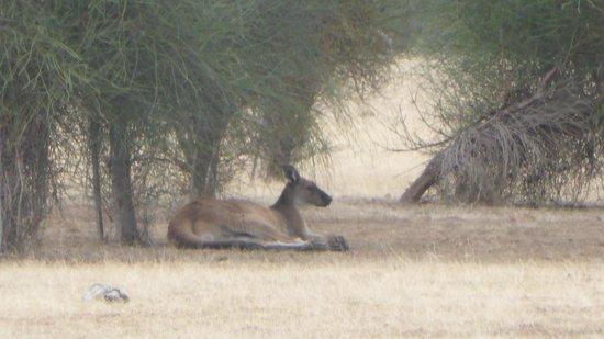 Hanson Bay Wildlife Sanctuary: Kangaroo near carpark
