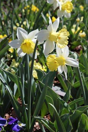 Dallas Arboretum & Botanischer Garten: Daffodils