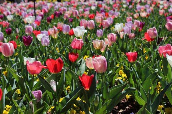 Dallas Arboretum & Botanischer Garten: Tulips