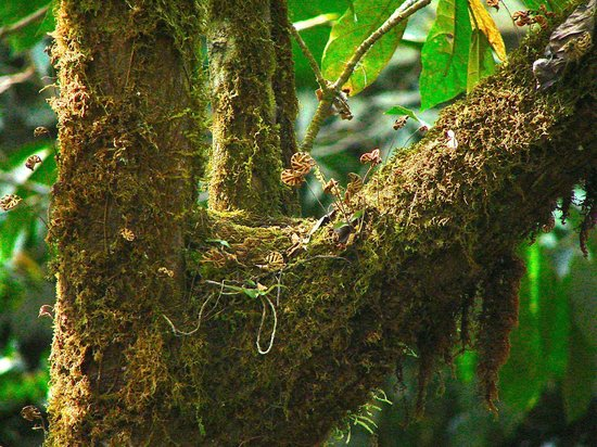 Rainforest Adventures : bird's nest - Costa Rican robin the national bird