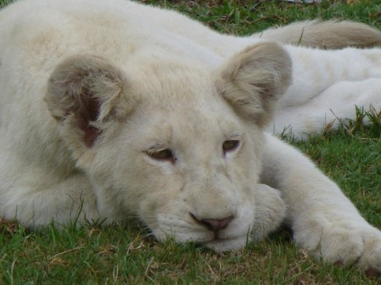 Pumba Private Game Reserve: White lion cub