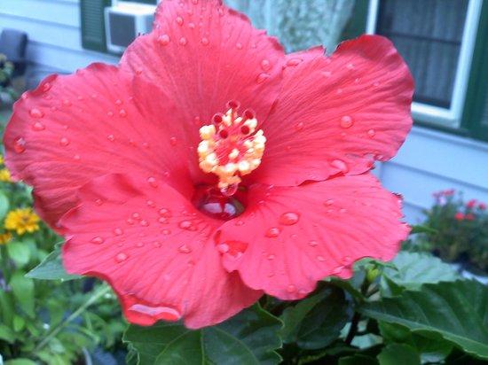Adirondack Sunrise Motel & Cabins: front door Dads hibiscus