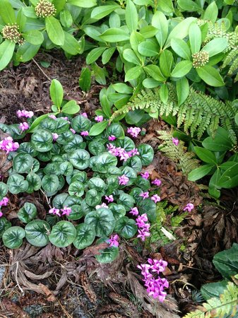 Kubota Garden: Wild cyclamen patch