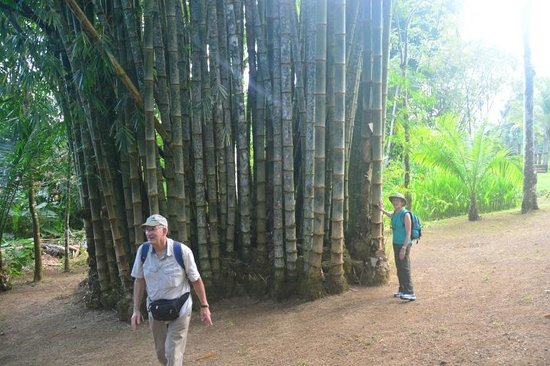 Drake Bay, Costa Rica: Giant bamboo