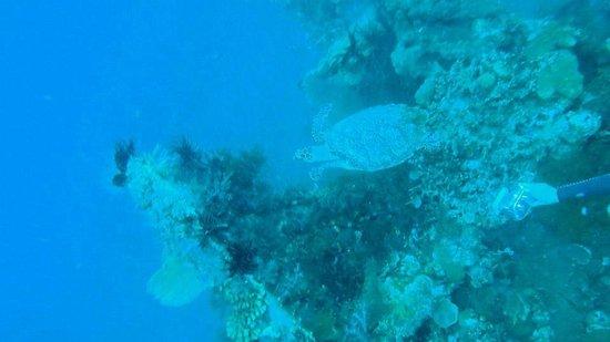 Blue Season Bali: TURTLE!