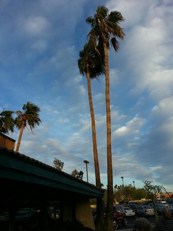 Black Bear Diner: Palm trees outside