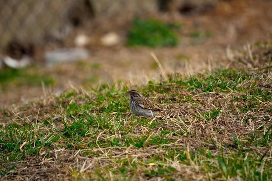 Charlotte Douglas Airport Overlook: Sparrows and other birds are spotable