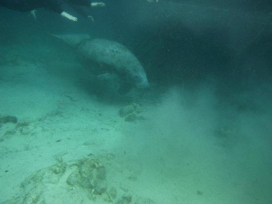 Crystal River Manatee Tour And Dive Reviews