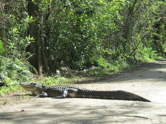 Fakahatchee Strand Preserve State Park & Boardwalk: Juvenile gator in the road