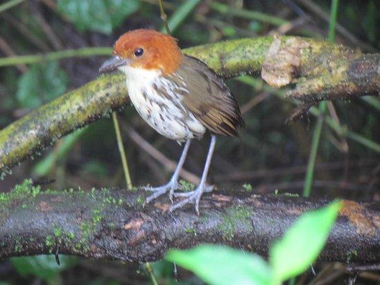 Paz de las Aves Bird Refuge: Chestnut Crowned Antpitta