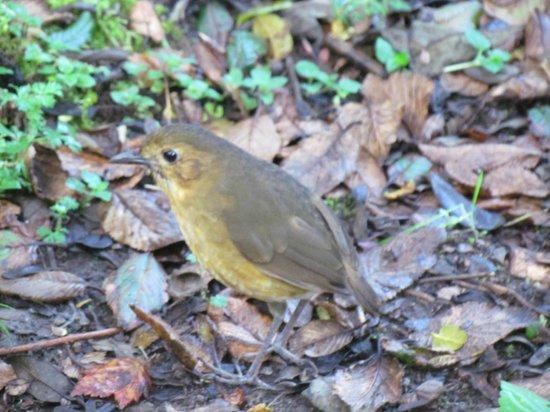 "Paz de las Aves Bird Refuge: Yellow Breasted Antpitta (Esmeralda"""