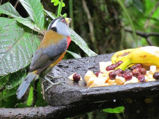 Paz de las Aves Bird Refuge: Toucan Barbet