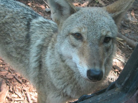 Naples Zoo at Caribbean Gardens : The coyote was especially playful
