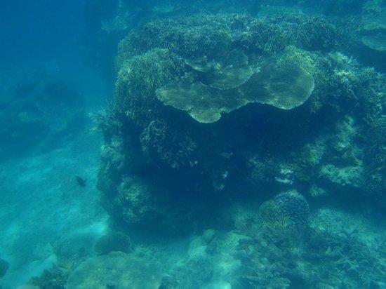 Hideaway Island Marine Reserve: Plate coral