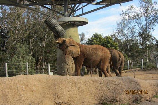 San Diego Zoo: Elephant playing with hay barrel