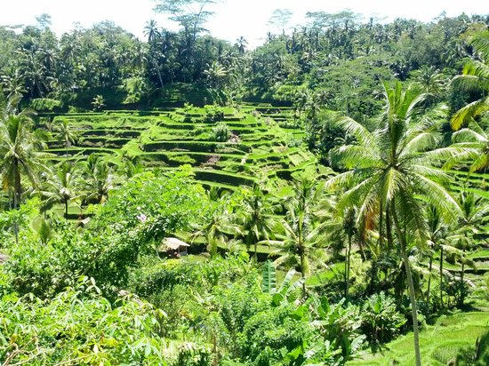 Tegalalang Rice Terrace : So lush & green