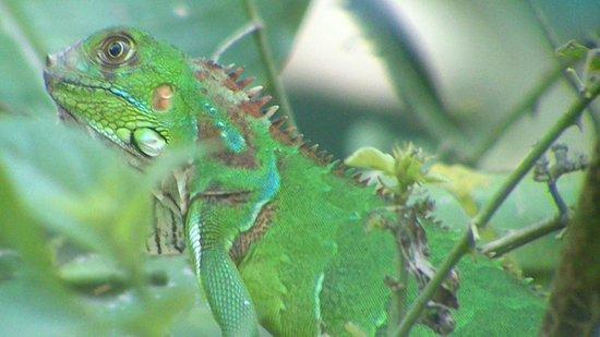 Manuel Antonio Expeditions: Iguane vert