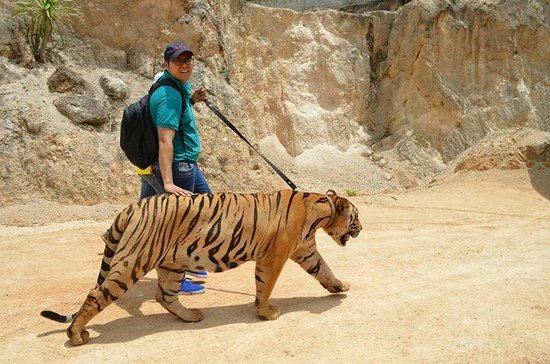 Tiger Temple Thailand Tour : Walking with the Tiger