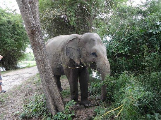 Phnom Tamao Wildlife Rescue Center : Lucky's walk