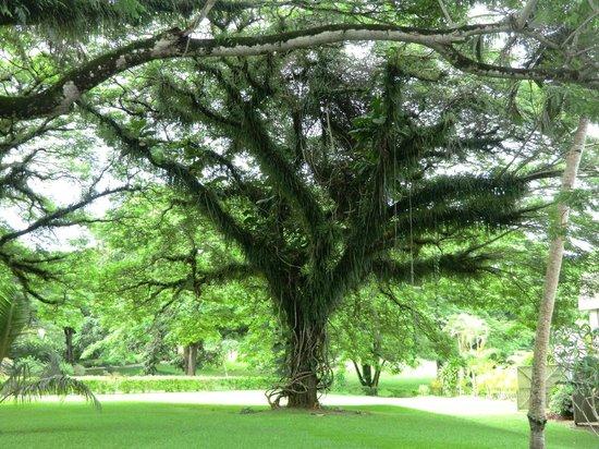 Holiday Inn Resort Vanuatu : Un arbre parmi tant d'autre sur le site de l'hôtel