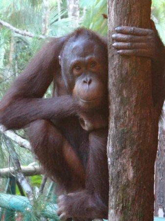 Sepilok Orangutan Sanctuary: He certainly put on a show for us ...