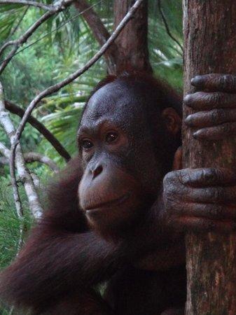 Sepilok Orangutan Sanctuary: This guy :)