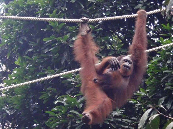 Sepilok Orangutan Sanctuary: Male - Can you tell :)