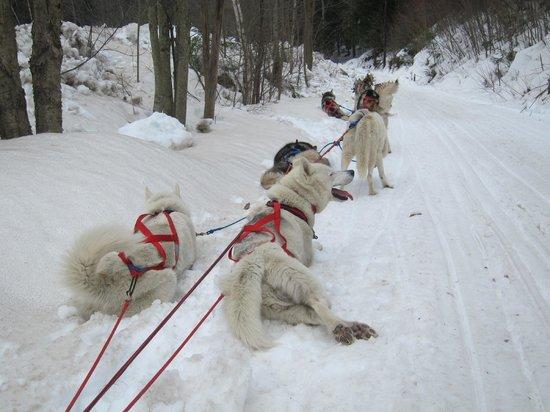 Braeburn Siberians照片