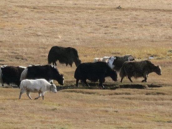 Arkhangai Province, Mongolei: Tsenkher Springs - yack herds